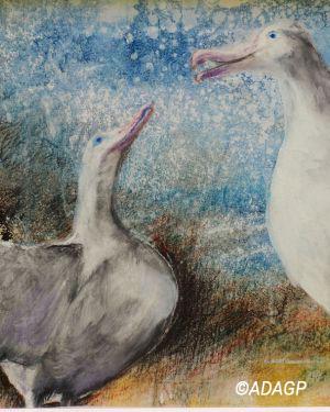 Couple d'Albatros